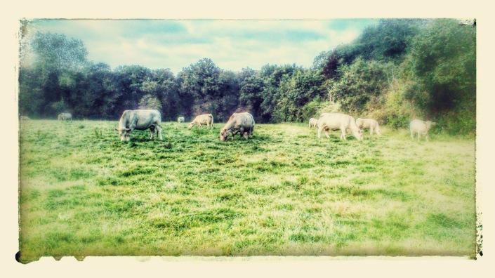 les vaches
